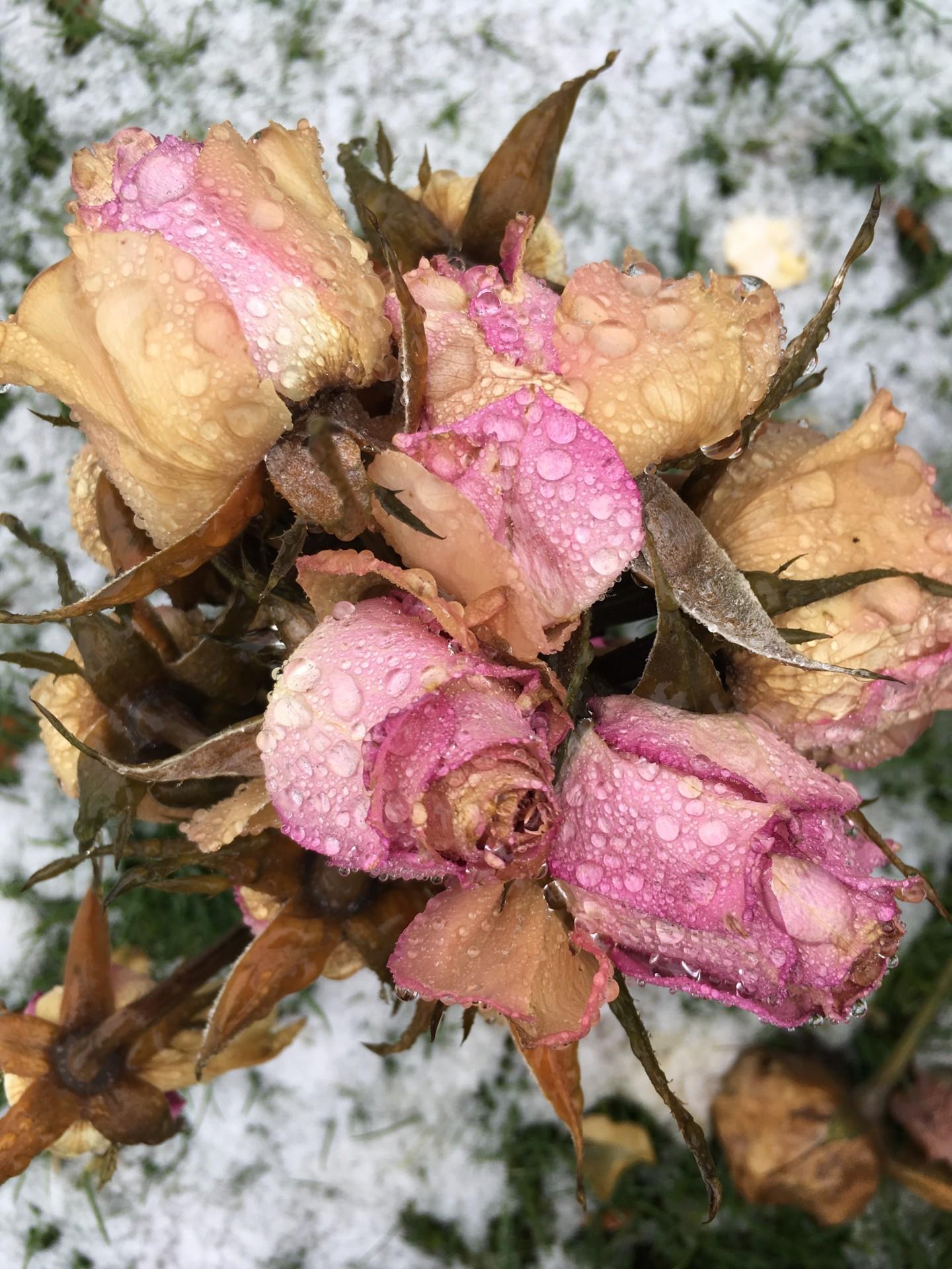 Paul Yves Poumay - roses perlées