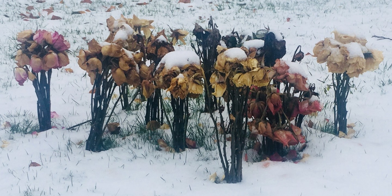 Paul Yves Poumay - winter roses