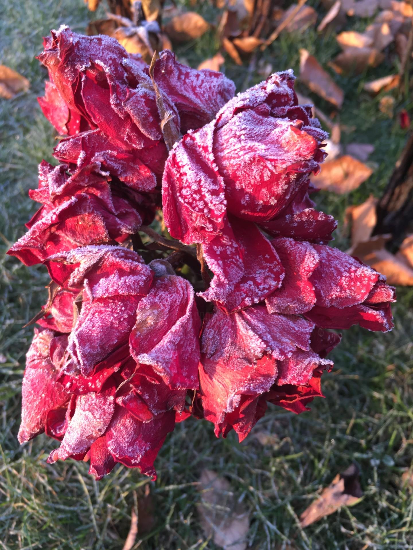 Paul Yves Poumay - roses rouges givrées